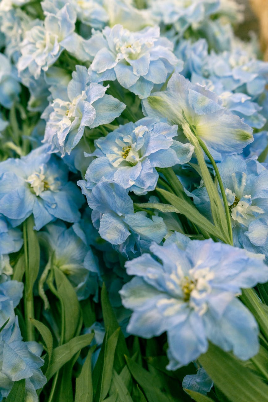 blooming delphinium with gentle flowers and curved foliage